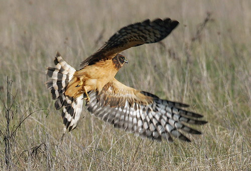 Northern Harrier By Mark Trabue