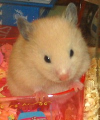 """... and my brothers and sisters?"" (pyza*) Tags: pet pets animal animals hamster hamsters"