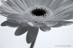 Gerbera Flower (jerseyimage) Tags: blackandwhite flower macro closeup blackwhite interestingness explore gerbera gerberas flickrexplorer 400d 25november2006 jerseyimage