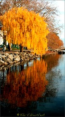 The feathers of the weeping willow (Vol-au-Vent) Tags: nature colors automne reflections ilovenature schweiz switzerland bravo peace suisse lakeside serenity colourful weepingwillow lakegeneva lacleman volauvent themoulinrouge lrp lutry genfersee colorriot lateautumn literaryreferenceinpictures goldgoldgold sptherbst 25faves abigfave generouscomments anawesomeshot itdoesntgetmuchbetterthanthat 27thnovember2006and19degreescelsius richardwatsondixon thefeathersofthewillowpoem explore204