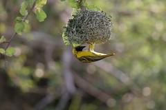 IMG_8252 (michielvw) Tags: southafrica wildlife safari bigfive kwazulunatal hluhluweumfolozi hluhluweumfolozipark greatersantaluciawetlandpark greaterstluciaparksafari