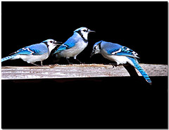 3 BlueJays (dee_r) Tags: blue bird birds bluejays soe onblack featheryfriday outstandingshots seenability impressedbeauty