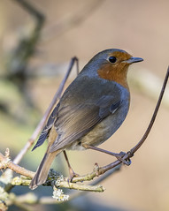 Robin (RayW101) Tags: robin