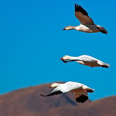 Stacked Snow Geese (Fort Photo) Tags: newmexico bird nature birds animal animals flying geese bravo quality wildlife birding flight 2006 aves goose bosque ave birdsinflight nm waterfowl ornithology bosquedelapache avian bif snowgeese anatidae snowgoose anseriformes chencaerulescens wildbird 50faves featheryfriday birdphoto anserinae specanimal exploretop20 animalkingdomelite flickrgold bestnaturetnc06 cmeradeourobrasil supremeanimalphoto impressedbeauty