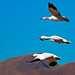 Stacked Snow Geese - by Fort Photo