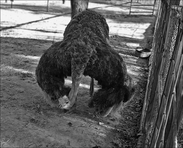 Snapshot Bin: Gator Park Ostrich (snap for the blog)