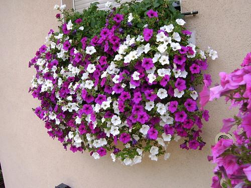 Planta Colgante Con Flores Pleno Sol O Media Sombra - Flores-de-sombra