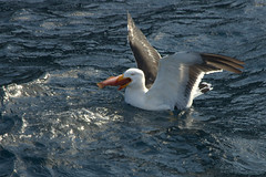 Gull gulp (drewnoakes) Tags: fish bird water swim feeding gull australia eat tasmania feed hobart swallow float downinone