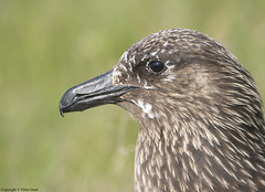 Great Skua profile