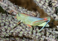 Hesperotettix speciosus (sunflower grasshopper) (tigerbeatlefreak) Tags: outdoors wildlife insects bugs grasshopper orthoptera animalia arthropoda insecta pterygota melanoplinae caelifera neoptera exopterygota