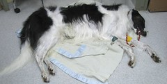 (and darling) Tags: pets dogs animals work vet clinic anaesthetic sedate bhvc
