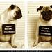 Pug Shot