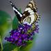 Butterfly Bush 3