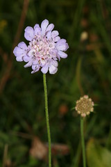 997043990 Small_Scabious 2007-07-31_19:37:04 Bald_Hill