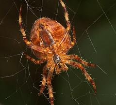 "Garden Cross Spider (Araneus diademat(1) • <a style=""font-size:0.8em;"" href=""http://www.flickr.com/photos/57024565@N00/251113515/"" target=""_blank"">View on Flickr</a>"