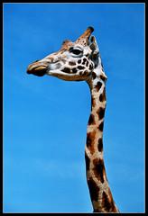 Jirafa (DavidGorgojo) Tags: film animal 35mm neck zoo reflex fuji minolta superia pelicula giraffe dynax cantabria analogica 100club analogic cuello cabrceno jirafa spxi 50club specanimal animalkingdomelite abigfave