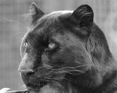 Black Cat (tim ellis) Tags: black animal cat leopard photofriday panther carnivore msh1006 msh10068 mshbest mshbest1