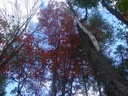 Autumn leaves turning red