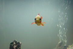 Goldfish #1 (finkangel) Tags: fish macro geotagged gold aquarium tank goldfish sony location fishtank gps mavica geo fink finkangel geotag yahoomaps gpslocation onmap geotargetted geotarget
