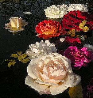 Last Roses in pond