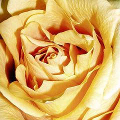 The rose (JenniferNelms) Tags: light flower macro texture nature floral rose yellow botanical petals jen peach top20flower blush delicate squared instantfave mywinners abigfave jenatl
