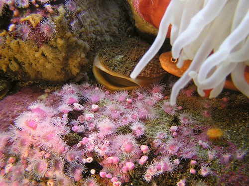 Strawberry Anemones and Rock Scallop