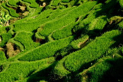 Tegalalang (Farl) Tags: travel summer bali green industry colors indonesia rice terraces culture tradition agriculture ubud paddies tegalalang bonzag