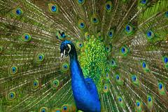 pauw (lichtschilder) Tags: deleteme5 deleteme8 deleteme deleteme2 deleteme3 deleteme4 deleteme6 bird deleteme9 deleteme7 animal eyes deleteme10 peacock pauw