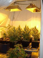 grass 3 flickr (Damien Okado-Gough) Tags: grass belfast marijuana cannabis hemp ulster hyroponic