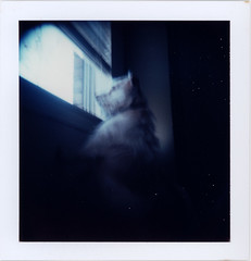 there's a big world out there (futurowoman) Tags: dog polaroid holga terrier ambient holgaroid orson mylittleboyfriend