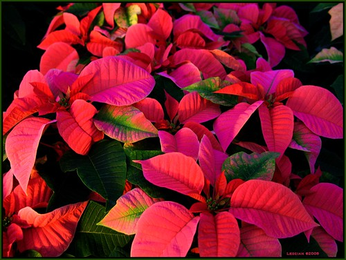 Pragmatic Poinsettia: presenting a philosophic point by colorfulexpressions.