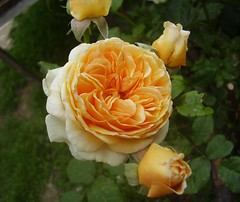 Rosa, English rose, 'Crown Princess Margarethe' (fotrristi) Tags: orange plant flower rose yellow 1025fav wow garden geotagged fantastic bush searchthebest sweden gardening lovely1 topc50 peach rosa 100v10f loveit flowerthursday botany congratulations coolest topi excellence englishrose rosaceae helluva catchycolorsorange 555v5f 333v3f 222v2f 444v4f faveflower 10faves topphotoblog thebiggestgroup austinrose 250v10f abigfave portfolio10 p1f1 5for2 bfv1 crownprincessmargarethe geo:lat=58996019 geo:lon=17951317 aplusphoto ibeauty