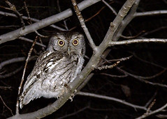 Common Screech Owl (Otus asio)
