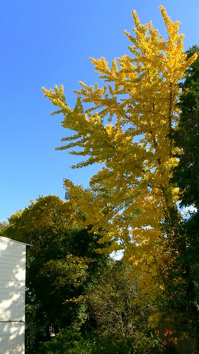 a ginkgo tree in my garden   銀杏  2006/11/20           P1000336