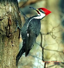 Male, Pileated Woodpecker by George W Bowles Sr (georgesr58) Tags: county lake male scott george woodpecker w indiana shield hardy bowles pileated excellence ias 112006 outstandingshots specanimal of animalkingdomelite georgewbowles lakehardy supremeanimalphoto scottcountyindiana avianexcellence