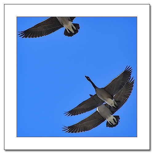 Migration: picture Honkers* by Imapix