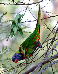 Rainbow Lorikeet. (Brenda-Starr) Tags: nature birds fauna bravo native wildlife parrot australia newsouthwales rainbowlorikeet animalplanet october2006 blaxland featheryfriday outstandingshots featheryfriday1 animaladdiction specanimal inadesignphotography animalkingdomelite abigfave anawesomeshot