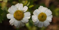 Stokrotki (arjuna_zbycho) Tags: autumn flower macro nature flora herbst blumen olympus e3 makro kwiaty jesień przyroda e500 stokrotki