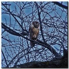 Barn Owl (2) - by Roger Lynn