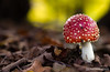 Fliegenpilz | Toadstool (fran.fotographix) Tags: makro bokeh toadstool herbst pilz rot fliegenpilz braun laub grün offenblende wald natur pilze