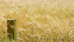 A summer fence.... (Elisafox22 still Off more than On!) Tags: elisafox22 sony rx100 fencedfriday field barley ripening golden fencefriday hff wooden fencepost barbedwire aberdeenshire scotland outdoors elisaliddell2016