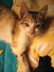 Jello & Zora's foot (lisacat) Tags: kitten kittens special needs jello shelter adoption specialneeds cerebellarhypoplasia cerebellar hypoplasia