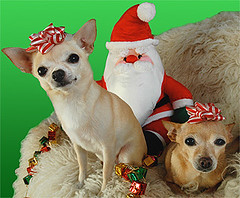 Holiday Greetings! (Laurie York) Tags: christmas interestingness explore happyholidays exploretop20 impressedbeauty chichiandpearlchihuahuas 100santafromthethriftstore twobigbagsofbowsfromthethriftstorebecauseineededtwothatmatched top10exploreinterestingness 7explore