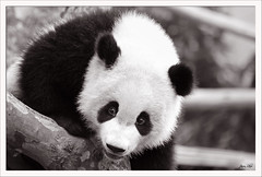 Giant Panda (exhibitj) Tags: china travel bw nature animal d50 giant nikon panda center breeding chengdu espion 70300