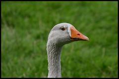 Blue eyed goose (Dit is Suzanne) Tags: blue orange green netherlands geotagged geese groen blauw nederland ganzen canondigitalrebel oranje leens 28082005 views100 verhildersum provinciegroningen  provincegroningen      ditissuzanne geo:lat=53361959 geo:lon=6390331