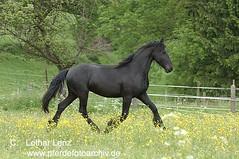 _LE42353 (Lothar Lenz) Tags: pferd friese lotharlenz