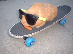 Furball hits the board. (ET Photo Home!) Tags: sunglasses guineapig carrot skateboard partyanimal