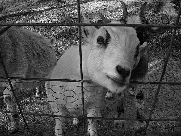 Snapshot Bin: Gator Park Goats (just a snap for the blog)