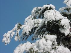 Frost (Kirsten M Lentoft) Tags: blue sky sun white snow tree mrjackfrost pine denmark sunny winther momse2600 kirstenmlentoft