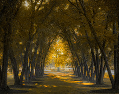 Tree Tunnel (patkelley3) Tags: fall autumn tree trees gold